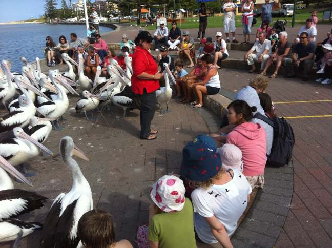 feeding the pelicans the entrance nsw