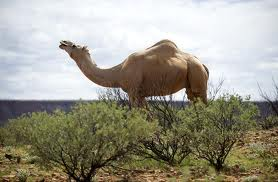 Australian Camel Cull courtesy of the Australian Green Party