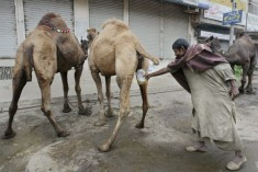 collecting camel urine