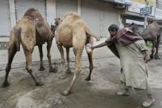 收集尿液骆驼